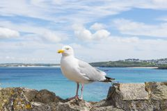 Seagull overlooking St Ives. A seagull on a rock looking over St Ives Stock Images