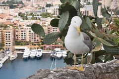 Seagull on a rock in Monaco Stock Photography