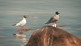 Seagull on rock near the sea in nature. The Seagull is standing on a rocky stone. stock video