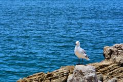 Seagull on rock next to sea Royalty Free Stock Image