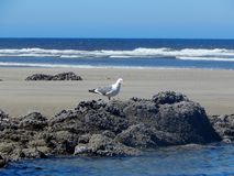 Seagull on rock on Northwest Oregon Coast beach. Near Seaside with Pacific Ocean in background royalty free stock image