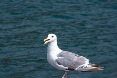 Seagull on a rock at the ocean. royalty free stock photos