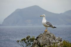 Seagull on a rock. And the ocean and mountains in the background Royalty Free Stock Photography