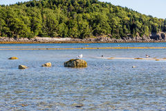 Seagull on Rock off Maine Coast Royalty Free Stock Images
