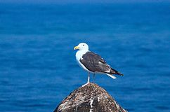 Seagull on Rock. Seagull Perched on Rock at the beach Stock Photos