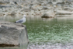 Seagull on a rock Stock Images