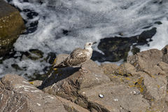 Seagull on the rock Stock Images