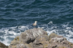 Seagull on the rock Royalty Free Stock Photography