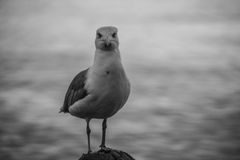 Seagull on the rock Royalty Free Stock Image