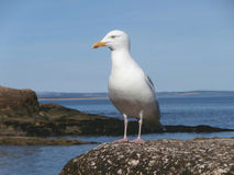 Seagull on rock at seaside Royalty Free Stock Photos