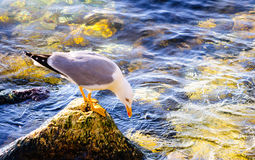 Seagull on rock water hunt Royalty Free Stock Photography