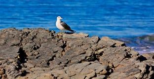 Seagull rockowy ocean obraz stock