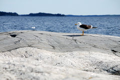 Seagull on the rocks. Until the Swedish fisheries for survival Royalty Free Stock Photo