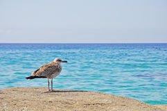Seagull on the rocks Royalty Free Stock Photography