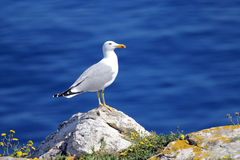 Seagull on the rocks Stock Image