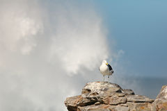 Seagull on the rocks. Seagull on rocks under wave Royalty Free Stock Photography