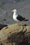 Seagull Royalty Free Stock Photos