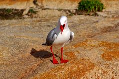 Seagull on rocks Stock Image