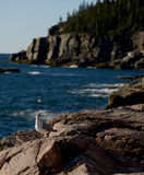 Seagull on rocks in Acadia National Park in New England Royalty Free Stock Images
