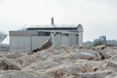 Seagull on the rocks. Seagull on the beach rocks Royalty Free Stock Photography