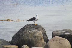 Seagull on the rocks. Seagull on a blue sea on the rocks Stock Photo