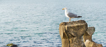 Seagull on the rocks royalty free stock photos