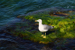 Seagull on the rocks covered with seaweed. White seagull on the rocks covered with green algae Royalty Free Stock Photos