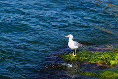 Seagull on the rocks covered with seaweed. White seagull on the rocks covered with green algae Royalty Free Stock Photo