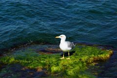 Seagull on the rocks covered with seaweed. White seagull on the rocks covered with green algae Royalty Free Stock Images