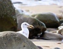 Seagull rocks food Stock Photos