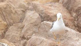 Seagull on the rocks. stock video footage