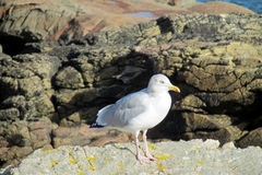 Seagull on the rocks Stock Images