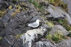Seagull on the rocks Stock Photography