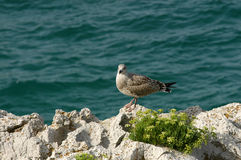 Seagull on rocks by sea Stock Photography