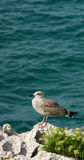 Seagull on rocks by sea royalty free stock image