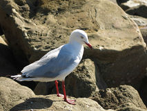 Seagull on rocks. Seagull standing on rocks at beach Royalty Free Stock Images