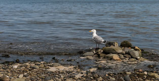 Seagull on the Rocks. Seagull standing on rocks at the shoreline on traditional British beach Stock Photos