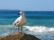 Seagull. On rocks with surf behind Stock Photos