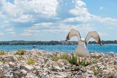 Seagull on the rocky beach in Istria Stock Photos