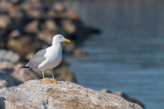 Seagull on the rocky coast. Seagull bird standing on the rocky cost watching the sea Royalty Free Stock Images