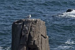 Seagull on Rocky reef near Royalty Free Stock Images