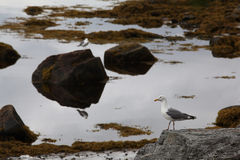 Seagull on  rocky seashore Stock Images