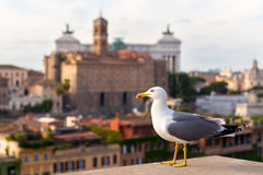 Seagull in the Roman Forum in Rome Stock Image