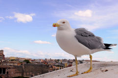 Seagull and Rome Stock Photos