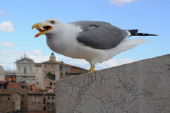 Seagull in Rome Royalty Free Stock Images