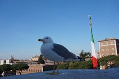 Seagull in Rome city royalty free stock photography