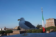 Seagull in Rome city royalty free stock photo