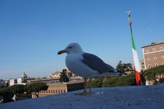 Seagull in Rome city stock photography