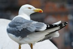Seagull on the Rome city roof Royalty Free Stock Images