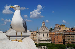 Seagull in Rome. In the foreground you can see seagull, in the background there is beautiful Rome stock photos